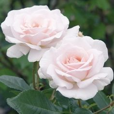 A Whiter Shade of Pale - David Austin Roses
