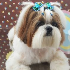 Perro Shih Tzu, Shih Tzu Puppy, Shih Tzus, Pet Shop, Yorky, Love Dogs, Teacup Puppies, Dog Items, Small Puppies
