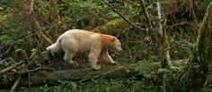 Land of the Spirit Bears, British Columbia with Apex Expeditions