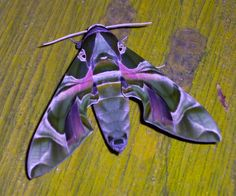 Oleander Hawk-moth