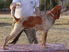 English Coonhound pets