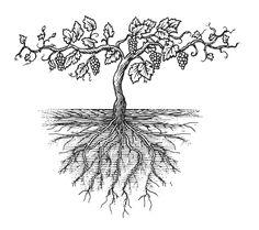 Old Grapevine Woodcut Illustration by Steven Noble Grape Tree, Grape Vines, White Flower Tattoos, Vine And Branches, Woodcut Tattoo, Wine Vine, Wine Logo, Wine Design, Stock Art