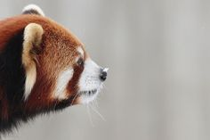 "First snow. Photo: ""Snow on a Panda Nose"" by Marc Dumont on flickr CC BY-NC 2.0 http://ift.tt/1XbMCcc"