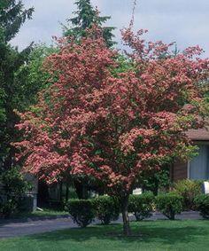 crataegus toba - Pärlhagtorn - fint träd till entren