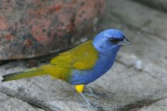 Blue-capped Tanager - Bolivia, Colombia, Ecuador, Peru, Trinidad and Tobago & Venezuela