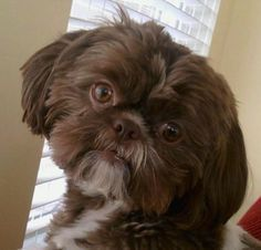 Chocolate Shih Tzu With Green Eyes <b>shih tzu</b> on pinterest <b>shih tzu</b>, <b>shih tzu</b> puppy and <b>shih tzus</b>