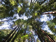 Armstrong Woods redwoods began growing half a century before the Pilgrims even thought about Plymouth Rock