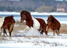 Horse Squabble (Winter 2015) Assateague Island National Seashore, Maryland (pinned by haw-creek.com)