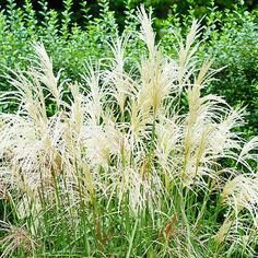 Top Plants that Thrive in Clay  Miscanthus  Miscanthus bears silvery seed heads that seem to glow in the late-summer and autumn sunshine. This ornamental grass grows nearly anywhere, from soggy soil to sun-baked clay. It can drop a lot of seedlings, so deadhead the plumes as they mature to keep it from becoming weedy in your garden.  Name: Miscanthus selections  Zones: 4-9