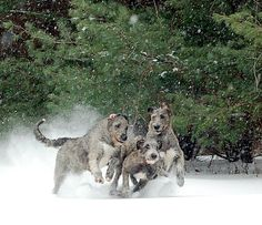 Irish wolfhounds playing in the snow! Love it!