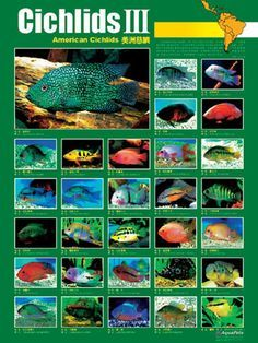 Several cichlid species can be included in community tanks but it's usually a better idea to keep them in their own tank as they often have different water specification needs Cichlid Aquarium, Cichlid Fish, Discus Fish, Tropical Fish Aquarium, Freshwater Aquarium Fish, Aquariums, Fish Chart, South American Cichlids, Fish Breeding