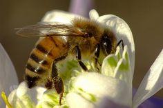 """Už pred niekoľkými rokmi viaceré výskumné tímy v Európskej únii dospeli k záveru, že pesticídy predstavujú """"akútne nebezpečenstvo"""" pre včely medonosné, ktoré opeľujú väčšinu komerčne pe…"""