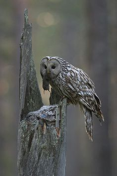 viirupöllö tuo myyrän poikasille, Suomussalmi - Ratóncito de cena para el bebé :) Finland, Owl Always Love You, Birds Of Prey, National Parks, Cute Animals, Natural, Animals, Dinner, Winter Night