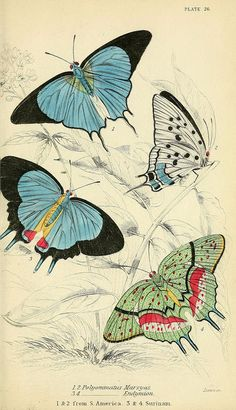 Illustration of foreign butterflies in Edinburgh by Henry G Bohn circa 1858