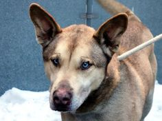 TO BE DESTROYED 1/3/14 Manhattan Center  My name is ZEUS. My Animal ID # is A0586554. I am a neutered male brown and cream brown and germ shepherd mix. The shelter thinks I am about 10 YEARS old. *** RETURNED ON 12/19/13 ***   I came in the shelter as a OWNER SUR on 12/18/2013 from OUT OF NYC, owner surrender reason stated was ALLERGIES.   MOST RECENT MEDICAL INFO AND WT  12/29/2013 Exam Type CAGE EXAM - Medical Rating is 3 C - MAJOR CONDITIONS , Behavior Rating is NH ONLY, Weight 60.0 LBS.