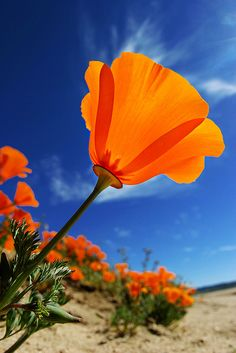 State Flower California poppy : Kat's fun fact  AAA Magazine for Californians hides a poppy in every issue... prizes for the lucky winners that find them :)