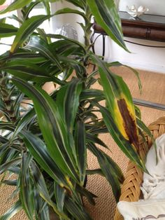 Draceana Problem - http://www.gardenanswers.com/house-plants/draceana-problem-2/