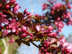 This is a dwarf Flowering Plum. It's so beautiful with it blossoms and leaves appearing together. From Sheran Clark's garden. Spring Flowers, Wild Flowers, Clark Gardens, Welcome Spring, Dwarf, Blossoms, Plum, Leaves, Memories