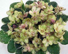 N-Dubrava~Mini, African Violet~Russian Variety  | eBay
