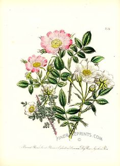 Antique print: picture of Burnet Rose, Sweet Briar or Eglantine - Common Dog Rose and Ayrshire Rose