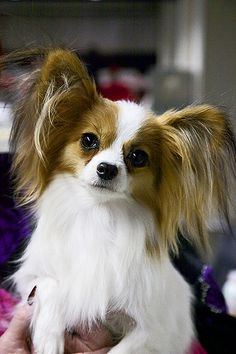 Papillon by andrew fladeboe, via Flickr