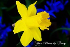 Bright Daffodil and Violets High Contrast by YourStuffbyTracy