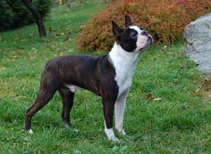 Boston Terrier, as raças de cachorros que vivem mais tempo