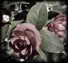 "Photo ""CamelliaFadedColor"" by WhiteOak56"