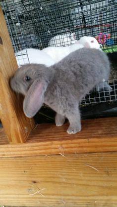 Mini lop bunnies, 6 weeks old, gray bunnies, lop eared bunnies, rabbits, baby bunnies