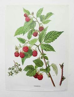 Raspberry botanical illustration