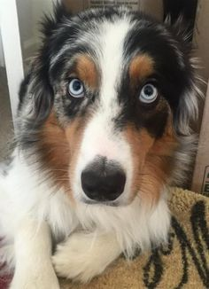 Blue Merle Aussie- looks just like my baby! ❤️                                                                                                                                                                                 Mais