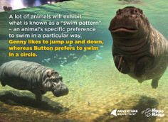 Adventure Aquarium's hippos Button and Genny have specific swim patterns. Genny likes to jump up and down, whereas Button likes to 'swim' in a circle. #Hippos #HippoHaven