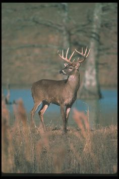 Kentucky Deer