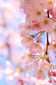 Chronicles of a Love Affair with Nature Cherry Blossom Wallpaper, Flowery Wallpaper, Spring Wallpaper, Flower Background Wallpaper, Flower Phone Wallpaper, Scenery Wallpaper, Flower Backgrounds, Wallpaper Backgrounds, Cherry Blossom Japan