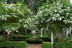White crepe myrtle (lagerstroemia) as feature tree for front garden - beautiful enclosed by hedges.