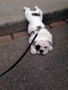Bulldog!