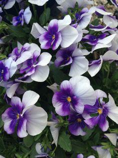 Flowerpower | Pansies