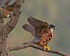 Shaheen Falcon, Tamil Nadu
