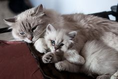 Cat mom cuddling her 7- week- old kitten