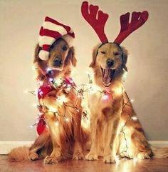 Christmas Lit Golden Retrievers