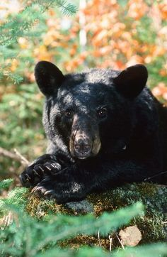 Bear Proof Products - Official Website of the Wisconsin Black Bear Education Center- Wausau,Wisconsin