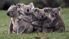 Lone Pine Koala Sanctuary, Brisbane, Australia...I miss living in Aus.