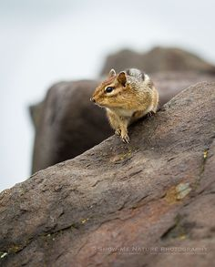 Ground Squirrel at Minnesota's North Shore - Fun Friday: Looking for a Handout   Show Me Nature Photography