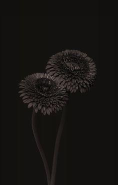 black   schwarz   noir   nero   negro   μαύρος   черный   काला   ブラック   黑   nature   flower   flowers   tree   trees   -----> Like to relax not only visually? Try ASMR ... and visit ... https://www.youtube.com/channel/UCBNHxodKKw1TnoGJogFApTA/videos