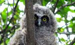 Watch a Long-eared Owl (LEOW) await the birth of her chicks from her nest in Missoula, Montana.