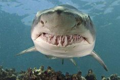 From the great white to the tiger shark, these marine animals are dangerous predators of. All Sharks, Big Shark, Shark Pictures, Nurse Shark, Delphine, Megalodon, Great White Shark, Ocean Creatures, Orcas