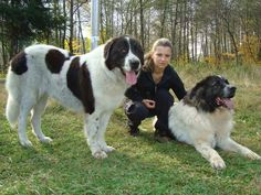 Interesting information about dog, cat and another pets presented in images. Dog Lady, Large Dog Breeds, Free Dogs, Dogs Of The World, Dog Training Tips, Dog Names, Big Dogs, Shepherd Dog, Dog Pictures