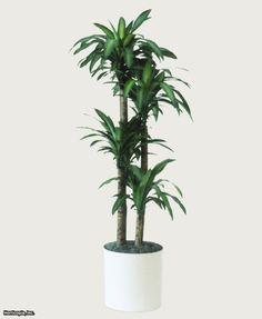 dracaena fragrans 'Massangeana' - mass cane/ corn plant