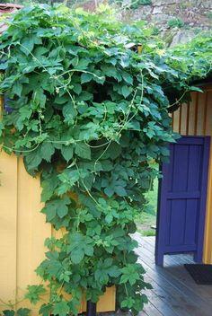 IMPONERENDE RASK: Humle vokser inntil 18 cm i døgnet. I løpet av sommermånedene kan den danne ranker på seks meters lengde | LEV LANDLIG