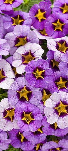 Superbells Evening Star is a Calibrachoa hybrid for part to full sun. Keep soil on the dry side for best results. Perennial zones 9 and warmer, annual elsewhere. Light Purple Flowers, Purple Plants, Exotic Flowers, Beautiful Flowers, Deep Purple, Lavender Flowers, Flower Beds, My Flower, Flower Colors